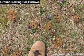 ground dwelling bees ground bees ground nesting bee burrows threebears info