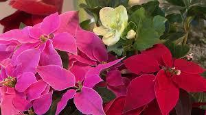 Die Weihnachtspflanzen Für Daheim Salzburgorfat
