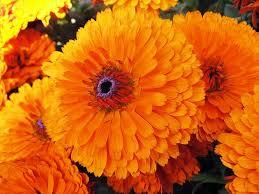 marigold flowers theflowerexpert marigold