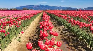 how to visit the skagit valley tulip festival in 2019