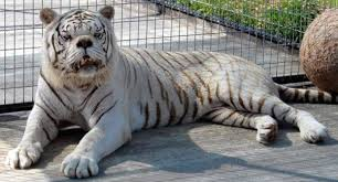 white tiger with blue eyes in snow. Delighful Snow This Mutation Prevents The Pigment From Coloring Skin And Fur Which Is  Why We See White Fur Chocolate Stripes Blue Eyes A Pink Nose And White Tiger With Blue Eyes In Snow