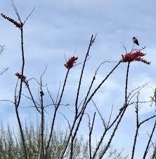 sunnylands center gardens rancho mirage california ocotillo in bloom and a hummingbird