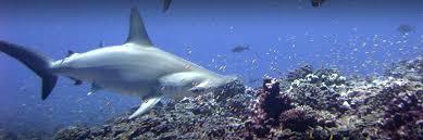 hammerhead shark habitat.  Hammerhead Scalloped Hammerhead Shark Photo NOAA Inside Shark Habitat Y