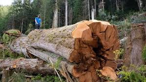 B C Loggers Aim To Transition Away From Harvesting Old Growth But