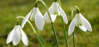 Woher weiss eine Blüte, dass es Frühling ist? - SimplyScience