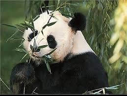 Панда панды ailuropoda melanoleuca большая панда самка  Панда малая панда ailurus fulgens фото фотография дикие животные хищники