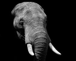 black wallpaper hd 1080p. Delighful Wallpaper Elephant During Daytime For Black Wallpaper Hd 1080p A