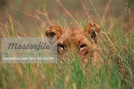 lioness stalking in grass. Interesting Lioness Lioness Peeking Out From Grass  Stock Photo For Stalking In I