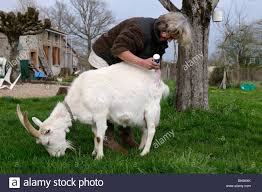 Goat Lice Stock Photo Of A Woman Dusting A Saannen Goat To Treat Her