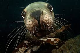 Real underwater world City Dwarka Steller Sea Lion Pacific Island Living The Real Sea World 10 Stunning Photos Of Amazing Underwater