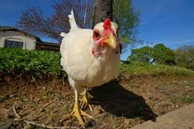 Image result for chicken pictures