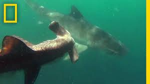 great hammerhead shark eating. Perfect Eating And Great Hammerhead Shark Eating A