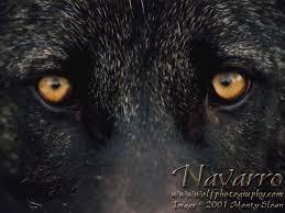 wolf eyes in the dark. Modren Dark AmberEyes By DarkLioncourt Inside Wolf Eyes In The Dark D