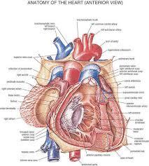 Cardiac Anatomy Chart Mixed Colour Heart Anatomy Chart Spectrum Impex Kolkata