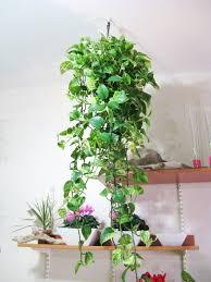 Engrossing Jade Plant Hanging ...