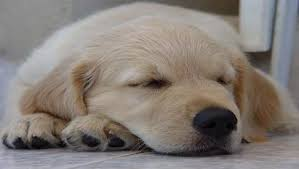 golden retriever puppies sleeping. Delighful Puppies Golden Retriever Puppy Sleeping Throughout Puppies Retrievers Training