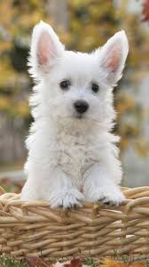 cute dog wallpaper for iphone.  For Cute White Dog IPhone 6 Wallpaper And Dog For Iphone E