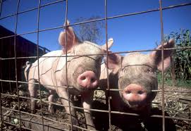 Pig Enclosure Design How To House And Fence Pigs