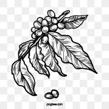 The best selection of royalty free coffee vector art, graphics and stock illustrations. Black And White Line Drawing Coffee Bean Illustration Element Hand Painted Black And White Coffee Png Transparent Clipart Image And Psd File For Free Downloa In 2021 Flower Line Drawings Line