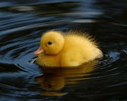 Image result for duckling