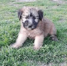 mr jackson soft coated wheaten terrier
