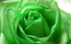 Green flowers, Green rose, Green wallpaper