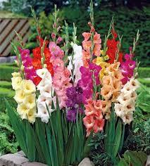 Image result for Bunga gladiol