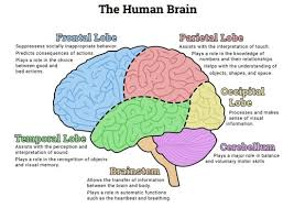17 best ideas about human brain diagram neurology the human brain diagram is a versatile tool that can be used during psychoeducation for just about any topic this diagram