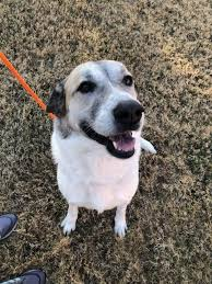 So, if you like dallas mix radio hit the play button and enjoy the music of your choice with the radio. Dog For Adoption Texas Dallas Harriette An Anatolian Shepherd Great Pyrenees Mix In Dallas Tx Petfinder
