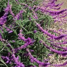 Salvia leucantha 'Midnight' at San Marcos Growers