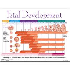 Prenatal Development Chart Amazon Com Fetal Development Chart Health Personal Care