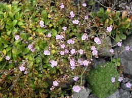 Limonium bellidifolium - Wikipedia