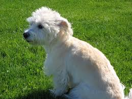 white mixed dog breeds list