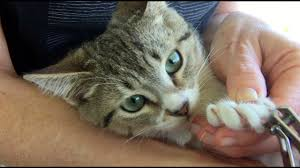 how to trim your cat s claws easy way to clip a cat s nails