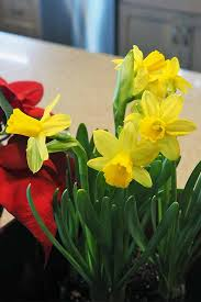 vertical image of blooming yellow daffodils with green stems and blade like leaves growing
