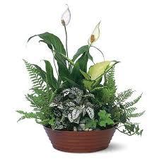 dish garden plants. dish garden plants i