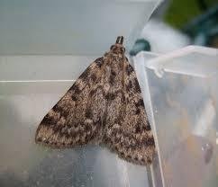 Small Moths In Bedroom Martins Moths May 2013