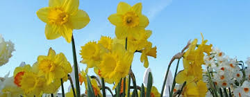 Image result for daffodil day