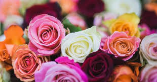 rose color meanings 13 shades and what