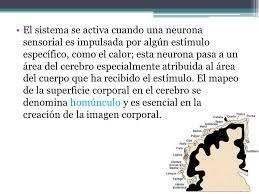 el sistema se activa cuando una neurona sensorial es impulsada por algún estímulo específico o