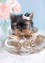ie tiny micro teacup yorkie puppy 124