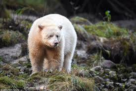 grolar bear size how many species of polar bears are there polar bear species