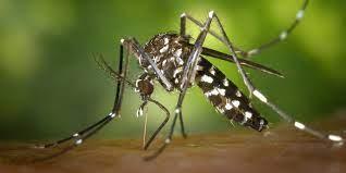 İstanbul'daki tehlike 'Asya Kaplan Sivrisineği'