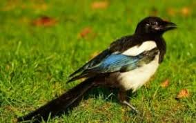 effectively scare and keep magpies away