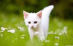White Kittens Wallpaper Hd