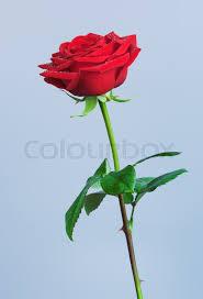 single red rose flower on blue