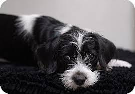 black and white terrier mix. Plain Terrier Inside Black And White Terrier Mix