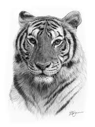 tiger face drawing pencil. Perfect Face Advertisements On Tiger Face Drawing Pencil W
