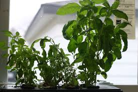 hydroponic herb garden. Windowsill Hydroponic Herb Garden L