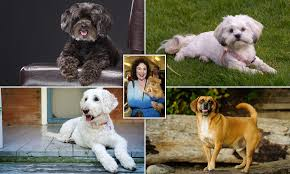 Labradoodle Designer Dogs Designer Dog Expose Shows Pets Are Bred By Ruthless